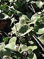 Starr 090121-0951 Solanum nelsonii.jpg