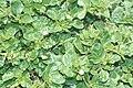 Starr 990412-0539 Boerhavia repens.jpg