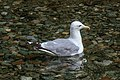 Stewart, BC-Hyder, Alaska & Granduc area - American Herring Gull (Larus smithsonianus) - (21531283086).jpg