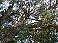 Strom roka borovica velke borove 02.jpg