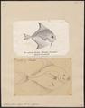 Stromateus niger - 1700-1880 - Print - Iconographia Zoologica - Special Collections University of Amsterdam - UBA01 IZ13500302.tif