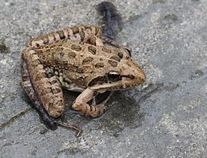 Description de l'image Strongylopus grayii Clicking Stream Frog EOS 00158.jpg.