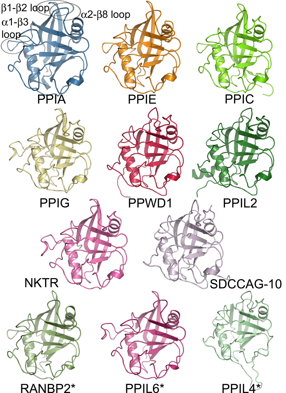 Structural coverage of the human cyclophilin family