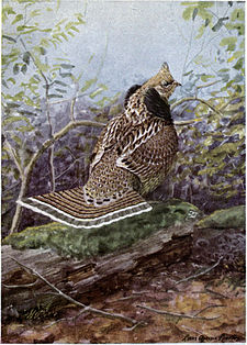 Strutter the Ruffed Grouse.jpg