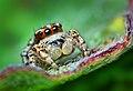 Sub-adult male jumping spider - (Habronattus mataxus).jpg
