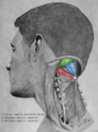 Suboccipital triangle dissection - Suboccipital triangle.png