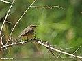 Sulphur-bellied Warbler (Phylloscopus griseolus) (15895970715).jpg