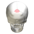 Superior angle of the occipital bone08.png