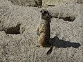 Suricata-suricatta-1.jpg