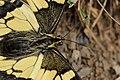 Swallowtail - Papilio machaon (30492958018).jpg