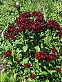 Sweet William Dianthus barbatus 'Heart Attack' Top 2112px.jpg