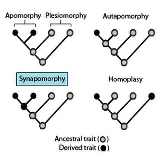 Synapomorphy and apomorphy - Phylogenies showing the terminology used to describe different patterns of ancestral and derived character or trait states.