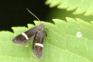 <i>Syncopacma</i> genus of insects