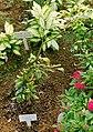 Synsepalum dulcificum - Shinjuku Gyo-en Greenhouse - Tokyo, Japan - DSC05750.jpg