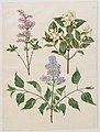 Syringa x persica; Philadelphus coronarius; Syringa vulgaris.jpg