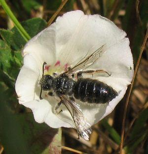 Halictidae - Systropha planidens, a specialist pollinator of Convolvulus