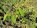 Syzygium zeylanicum 04.JPG