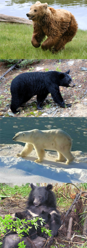 Ursus (genus) - From top to bottom: brown bear, American black bear, polar bear, Asian black bear.