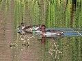 TEAL, GREEN-WINGED (11-1-10) patagonia lake, scc, az -03 (5137708352).jpg