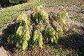 Taiwania cryptomerioides - Quarryhill Botanical Garden - DSC03493.JPG