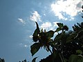 Tall Sunflower In The Clouds (964797569).jpg