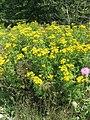 Tanacetum vulgare 1-eheep (5097993352).jpg