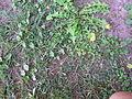 Taraxacum officinale plant9 (16189061588).jpg