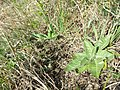 Taraxacum serotinum sl111.jpg