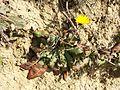 Taraxacum serotinum sl76.jpg