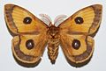 Tau Emperor (Aglia tau) male (8383151809).jpg