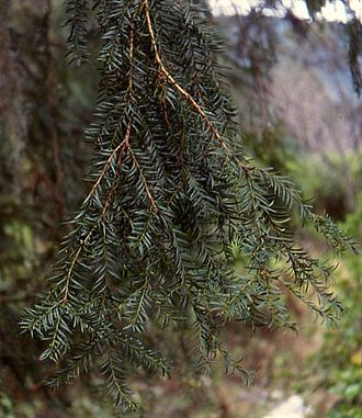 Taxus - Foliage of Mexican yew