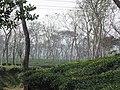 Tea gardens Srimangal Sreemangal Upazila Moulvibazar Maulvibazar Moulavibazar Sylhet 13.jpg