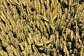 Teguise Guatiza - Jardin - Euphorbia griseola 06 ies.jpg
