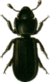 Tenebroides-=Tenebrioides-mauritanicus Jacobson.png