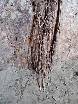 Terminalia superba - Image: Terminalia superba Musée royal de l'Afrique centrale (1)