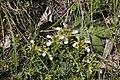 Teucrium montanum - img 26240.jpg