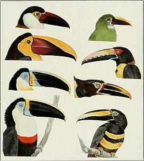 Toucan family of birds