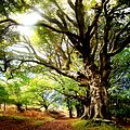The Ancient Beech Trees - panoramio.jpg