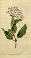 The Botanical Magazine, Plate 38 (Volume 2, 1788).png