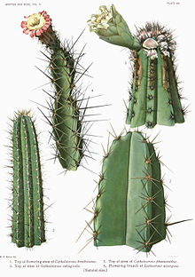 The Cactaceae Vol II, plate VIII filtered filtered.jpg