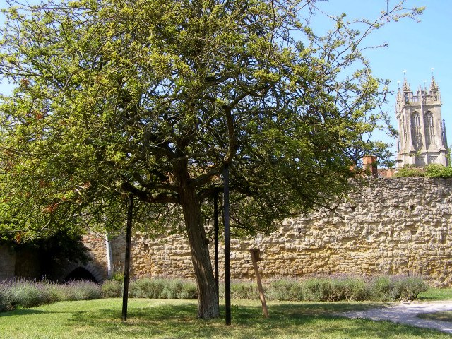 The Holy Thorn, Glastonbury Abbey - geograph.org.uk - 217631