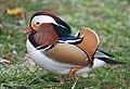 The Mandarin Duck of St. Ferdinand Park (31896220748).jpg