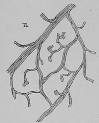 The Oak (Marshall Ward) Fig 21.jpg