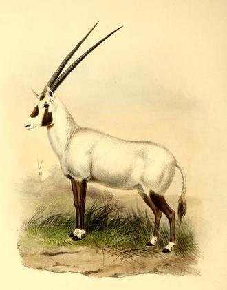 Oryx - Image: The book of antelopes (1894) Oryx beatrix