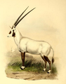 The book of antelopes (1894) Oryx beatrix.png