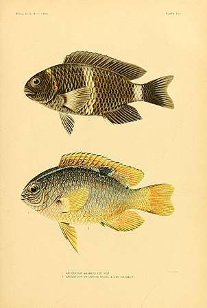 The fishes of Samoa (Plate XLII) (5998449077).jpg