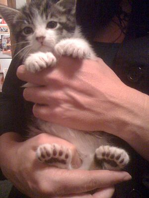 Polydactyl cat - Kitten with 23 toes