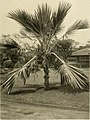 The ornamental trees of Hawaii (1917) (14579304979).jpg