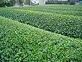 The vert recolte.jpg