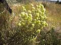 Thymus mastichina 2601.JPG